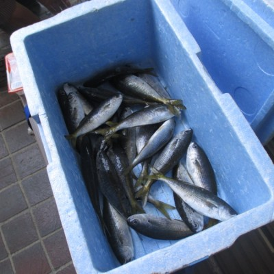 今回もタカベ大漁!