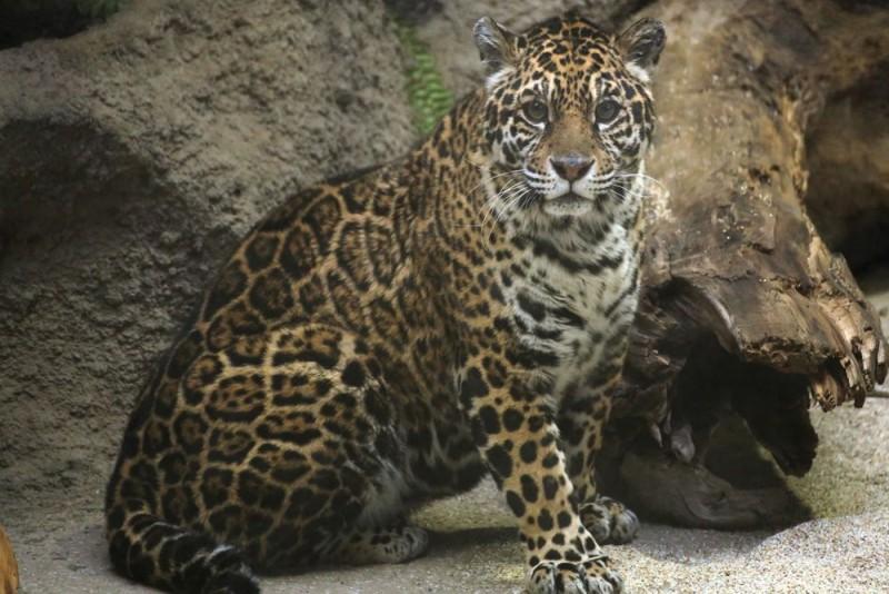 1 ジャガー