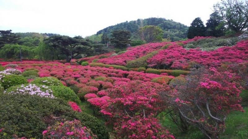 平成31年4月29日伊豆高原ブログ:小室山つつじ祭り画像3