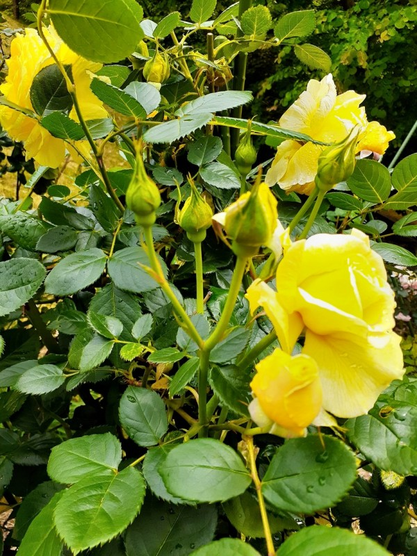 バラ蕾黄色_122642