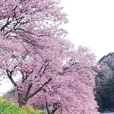 1月29日ブログ画像河津桜 (1)