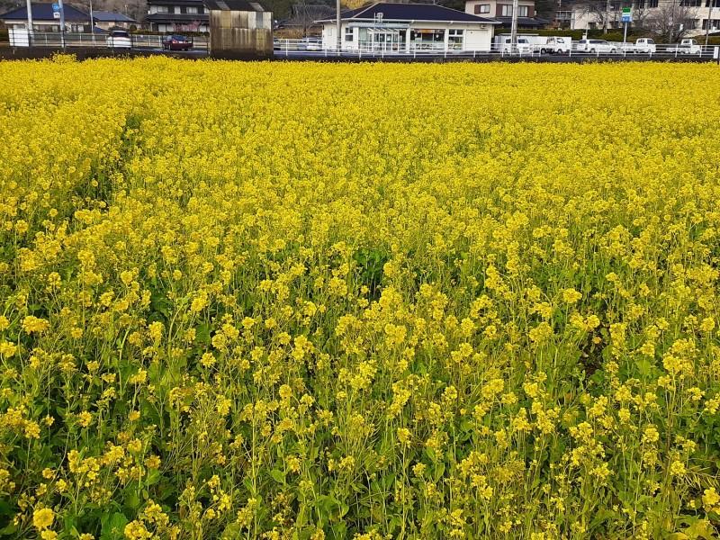 画像3 210224ブログ南の菜の花