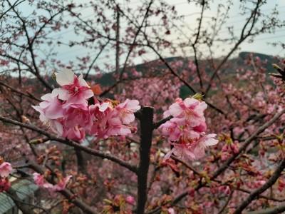 画像1 0224ブログ飯高家桜